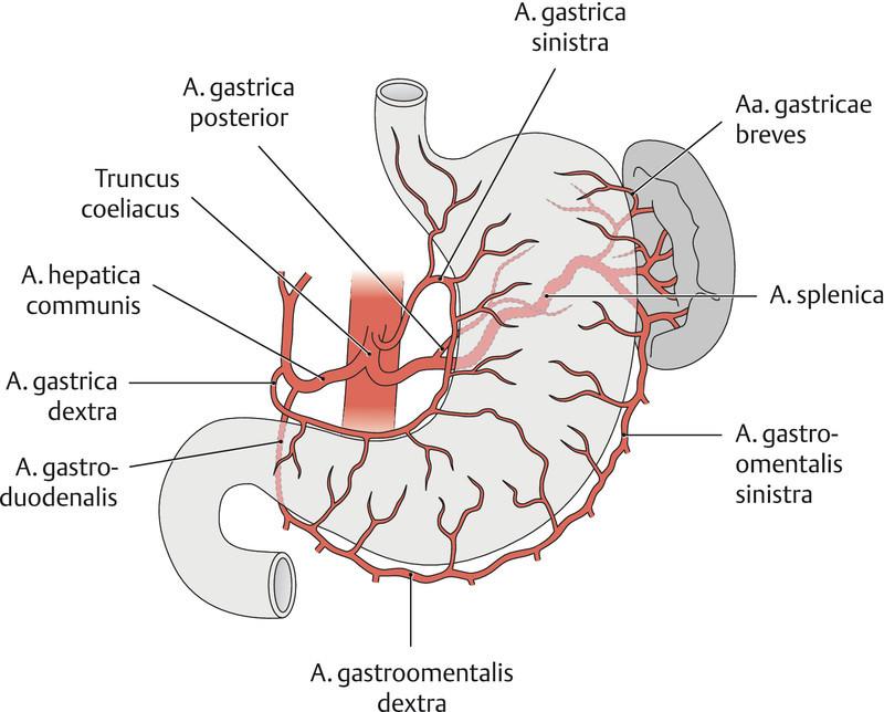 Großzügig Anatomie Gastrointestinaltrakt Ideen - Anatomie Von ...