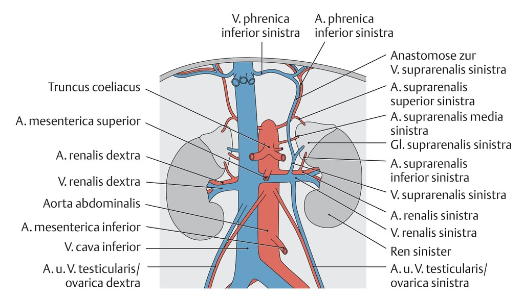 Atemberaubend Makroskopische Anatomie Niere Galerie - Anatomie Ideen ...