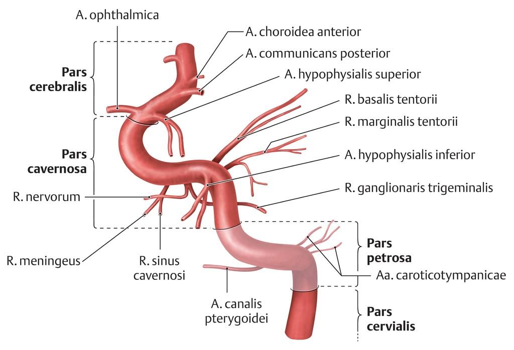 Charmant Anatomie Arteria Carotis Interna Galerie - Anatomie Von ...
