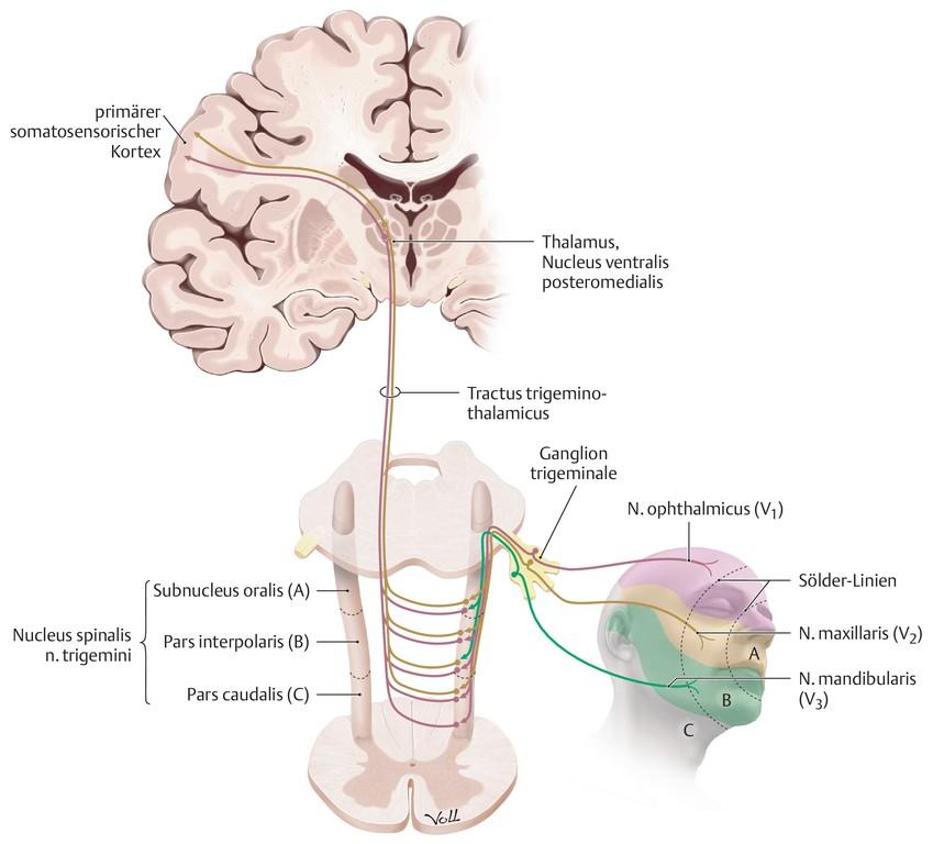 Wunderbar Präfrontalen Kortex Anatomie Galerie - Menschliche ...
