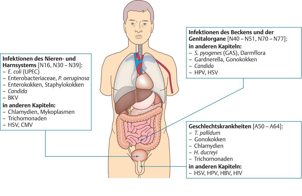 Tolle Bild Des Harnsystems Bilder - Anatomie und Physiologie des ...