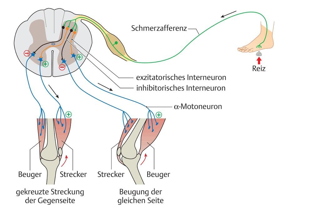 Wunderbar Viszerale Anatomie Definition Zeitgenössisch - Anatomie ...