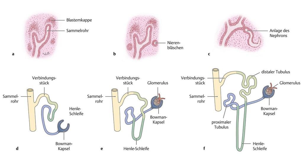 Großartig Beschreiben Die Anatomie Eines Nephron Zeitgenössisch ...