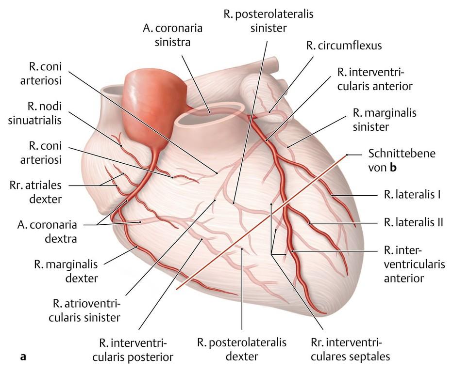 Ziemlich Koronararterien Des Herzens Anatomie Bilder - Anatomie Von ...