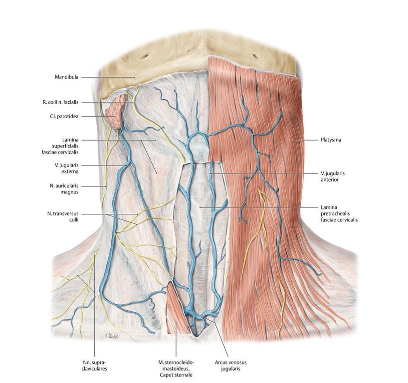Fein Kopf Und Hals Anatomie Radiologie Ideen - Anatomie Ideen ...