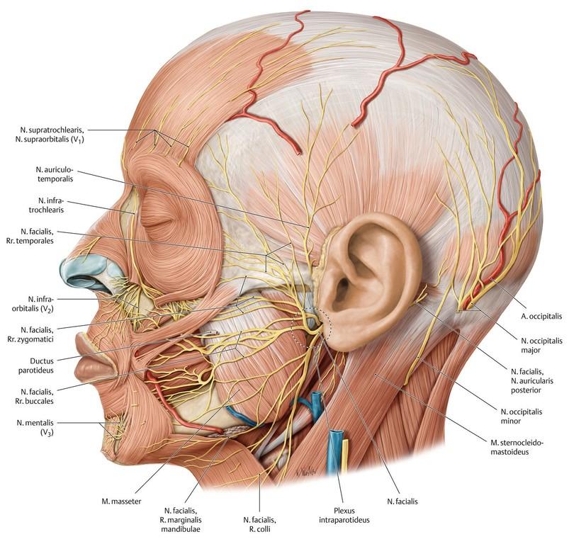 Gemütlich Angewandte Anatomie Des Nervus Facialis Ideen - Anatomie ...