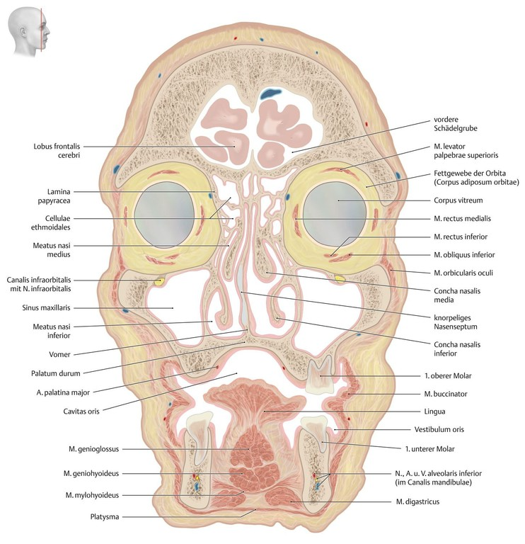 Atemberaubend Oberer Hals Anatomie Ideen - Menschliche Anatomie ...