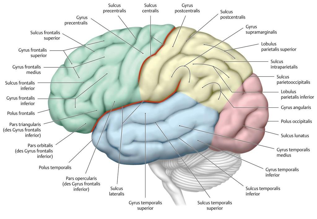 Sulcus temporalis superior    Med-koM