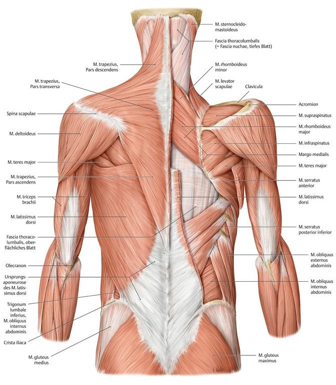 Beste Diagramm Rückenmuskulatur Bilder - Menschliche Anatomie Bilder ...