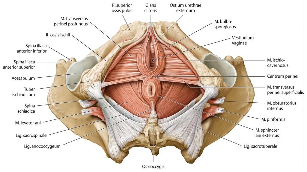 Fein Weibliche Beckenboden Anatomie Galerie - Anatomie Von ...