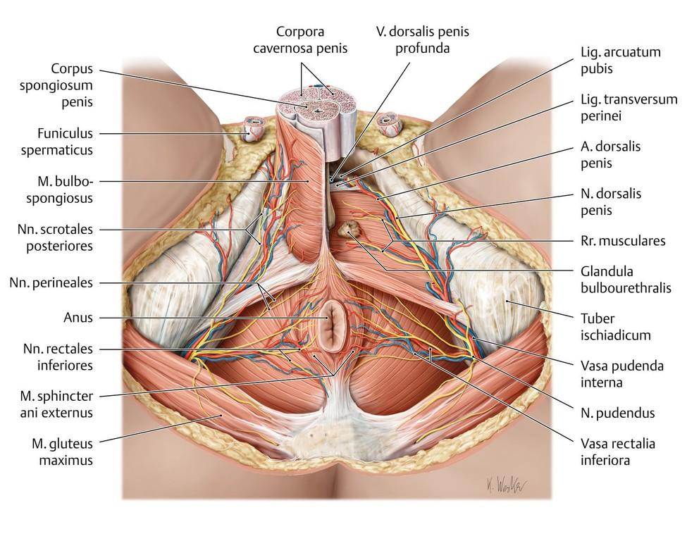 Atemberaubend Weibliche Geschlechtsorgane Anatomie Ideen ...