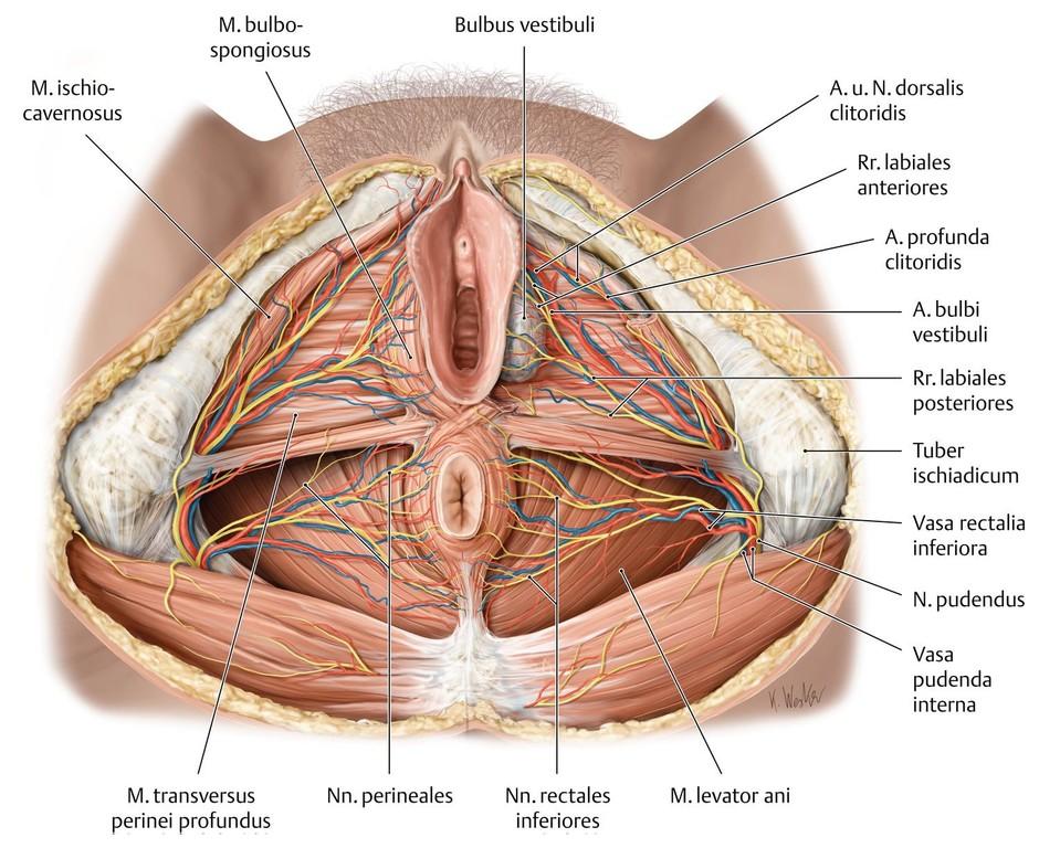 Schön Weibliche Organ Anatomie Ideen - Menschliche Anatomie Bilder ...