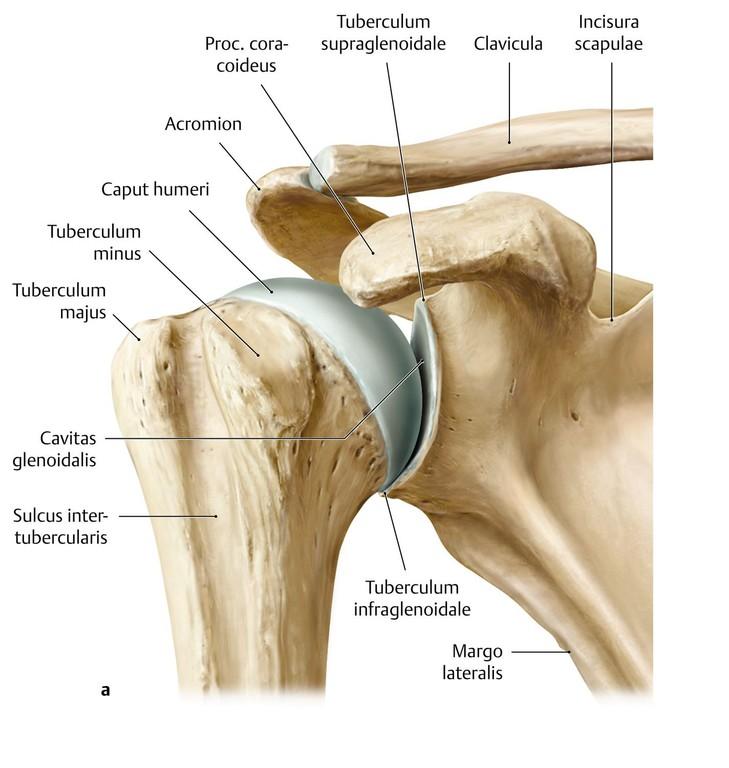 Tolle Schultergelenk Anatomie Ppt Fotos - Menschliche Anatomie ...