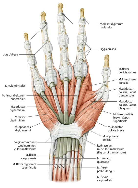 Großzügig Finger Sehnen Anatomie Ideen - Anatomie Von Menschlichen ...