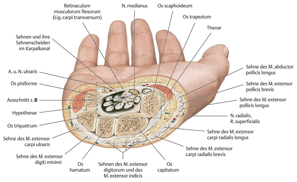 Charmant Finger Sehne Anatomie Galerie - Menschliche Anatomie Bilder ...