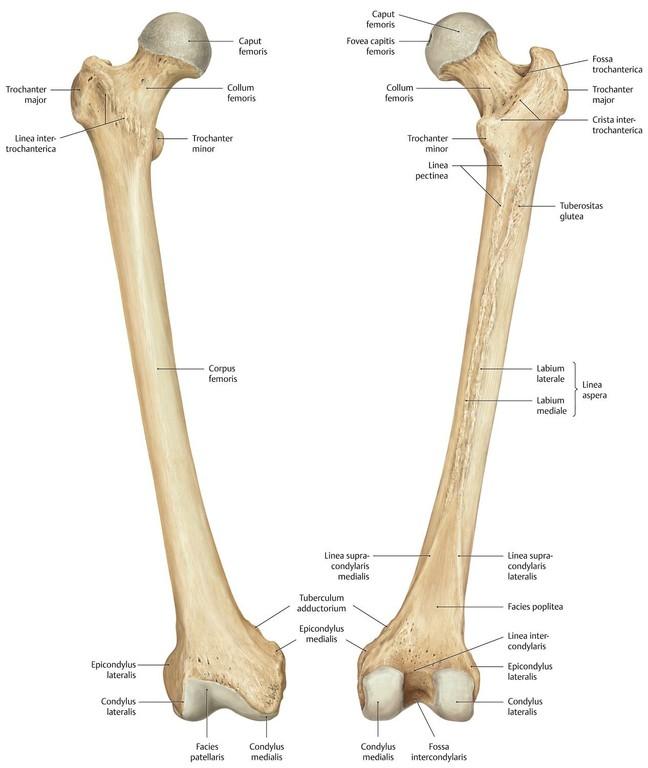Ziemlich Oberschenkelknochen Fotos - Menschliche Anatomie Bilder ...
