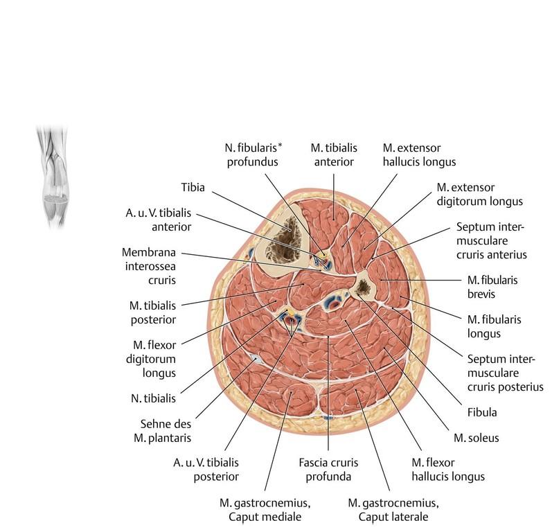 Fantastisch Hals Anatomie Querschnitt Zeitgenössisch - Anatomie ...