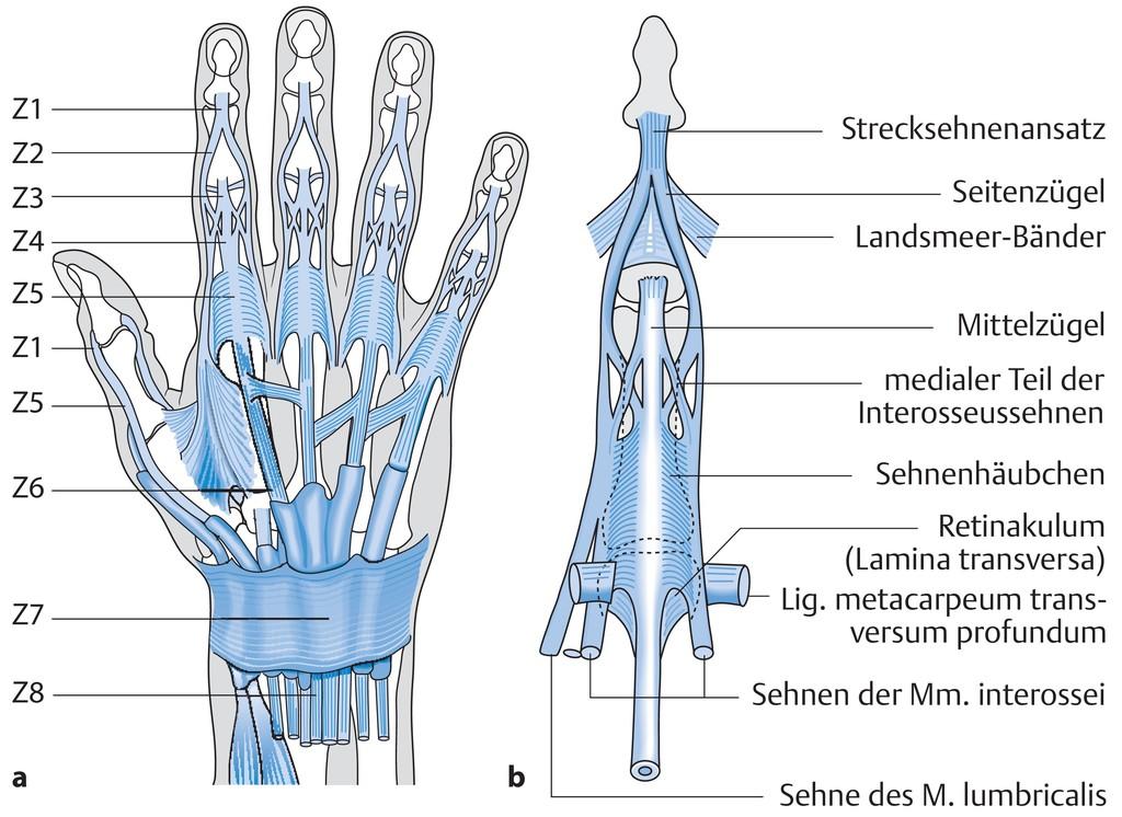 Berühmt Lungengefäße Anatomie Galerie - Menschliche Anatomie Bilder ...