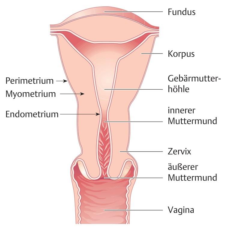 Niedlich Gebärmutter Diagramm Ideen - Anatomie Ideen - finotti.info