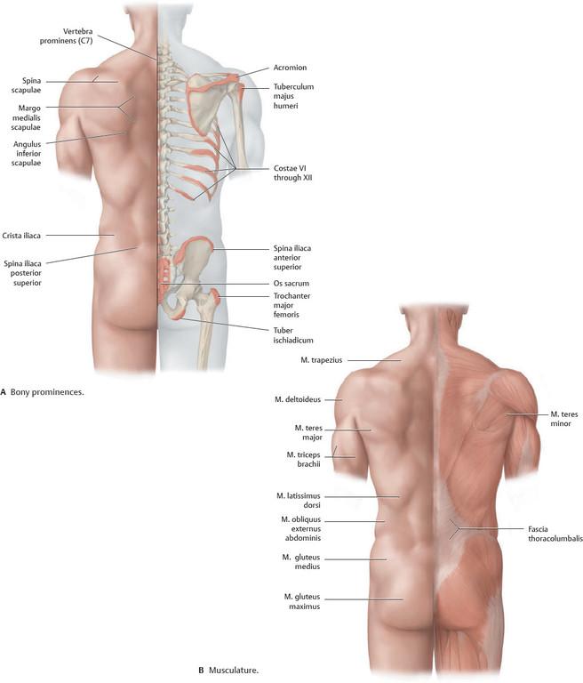 Beste Leistenmuskel Ideen - Anatomie Ideen - finotti.info