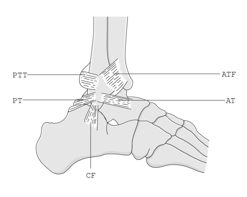 Fein Unterschenkelknochen Anatomie Fotos - Menschliche Anatomie ...