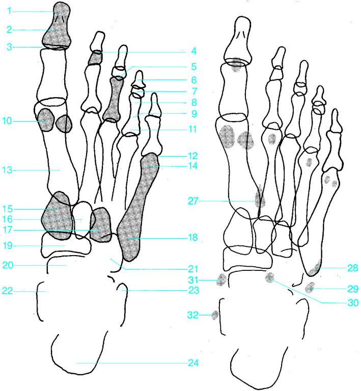 Ausgezeichnet Fußwurzelknochen Anatomie Fotos - Menschliche Anatomie ...