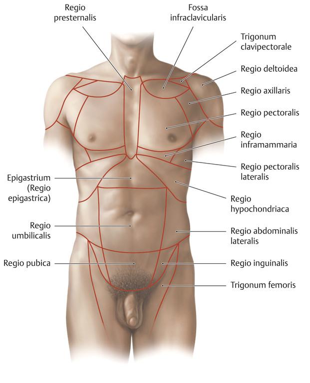 Gemütlich Bauch Oberflächenanatomie Bilder - Anatomie Von ...