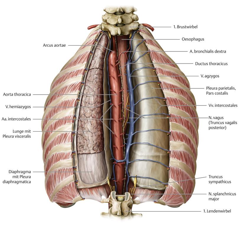 Charmant Menschliche Anatomie Brustkorb Bilder Menschliche Anatomie ...