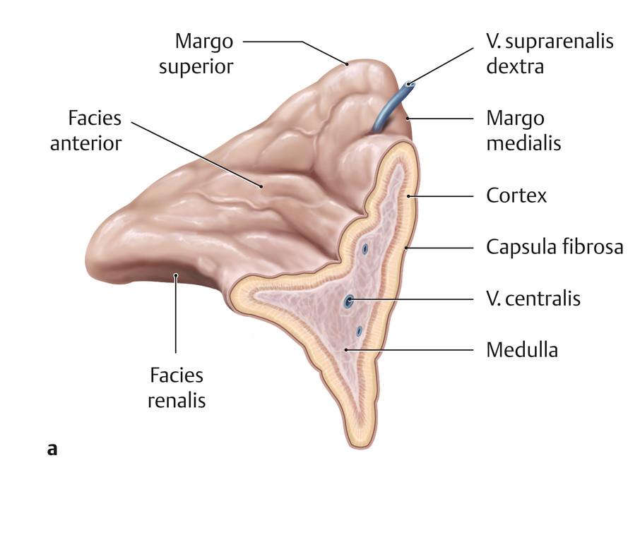 Großartig Anatomie Nebenniere Bilder - Menschliche Anatomie Bilder ...