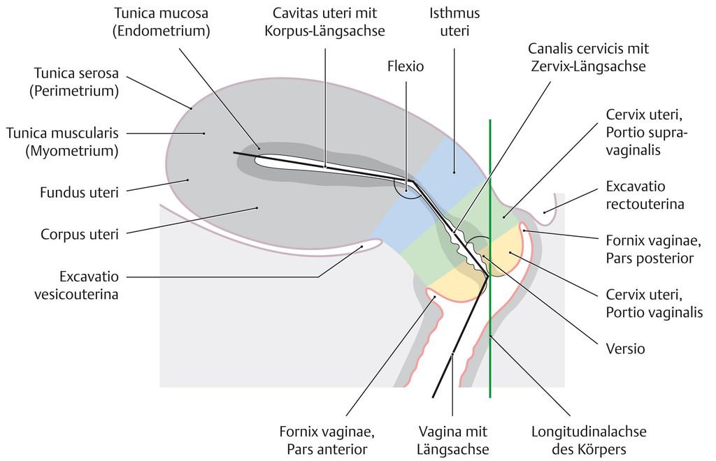 Tolle Weibliche Anatomie Des Gebärmutterhalses Bilder - Anatomie ...