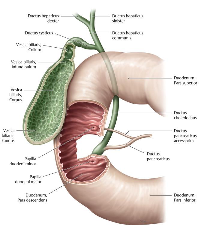 Atemberaubend Anatomie Der Leber Gallenblase Und Der Gallenwege ...