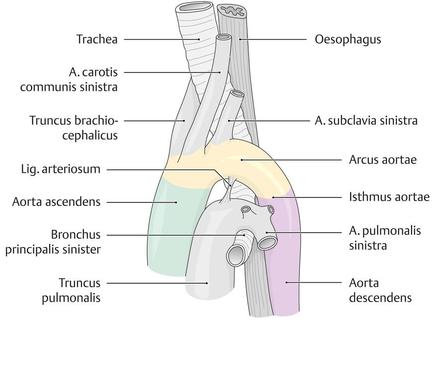 Schön Zweige Der Aorta Ideen - Anatomie Ideen - finotti.info