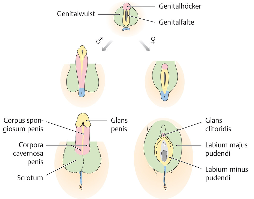 Atemberaubend Weibliche Genitalanatomie Abbildungen Bilder ...