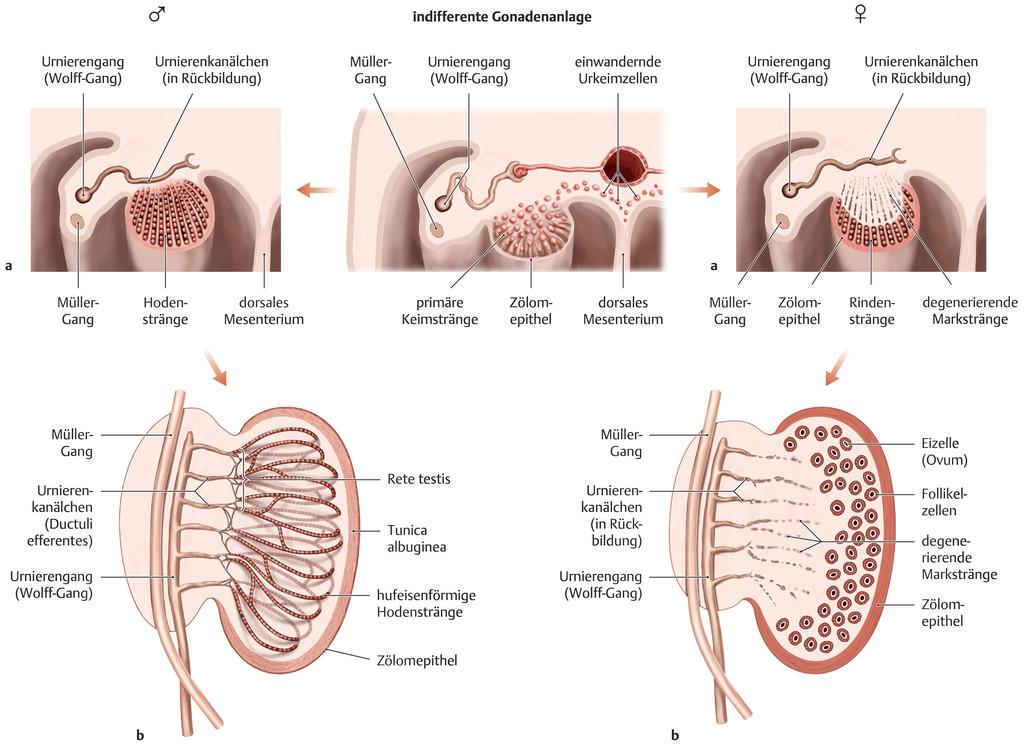 Fantastisch Anatomie Der Hoden Und Nebenhoden Bilder - Menschliche ...