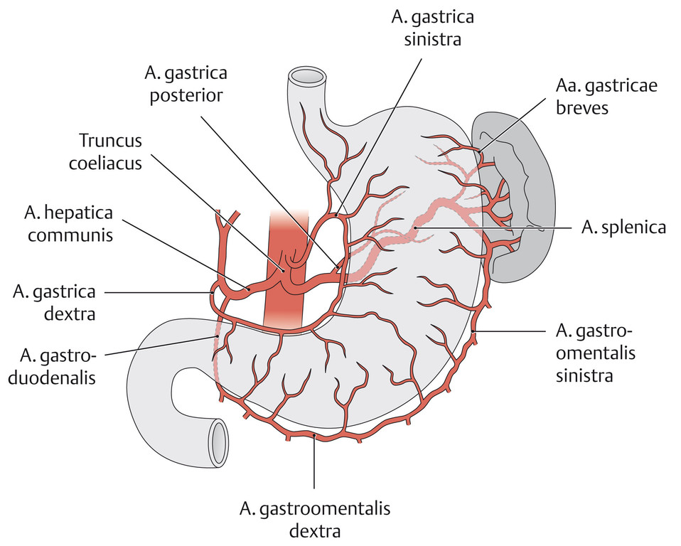 Ungewöhnlich Lenden Arterie Anatomie Ideen - Anatomie Von ...