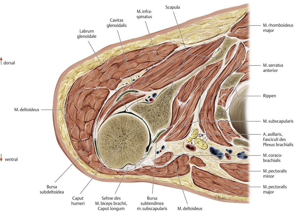 Ziemlich Akromioklavikulargelenks Anatomie Fotos - Anatomie und ...