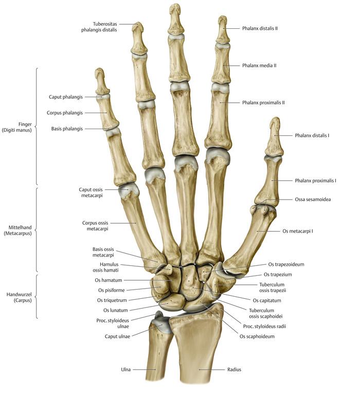 Atemberaubend Hand Anatomie Knochen Bilder - Menschliche Anatomie ...
