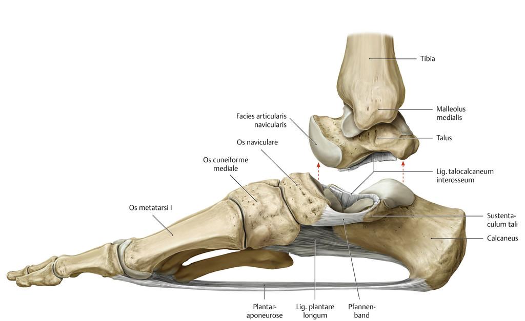Tolle Anatomie Des Knöchels Und Des Fußes Galerie - Anatomie Von ...