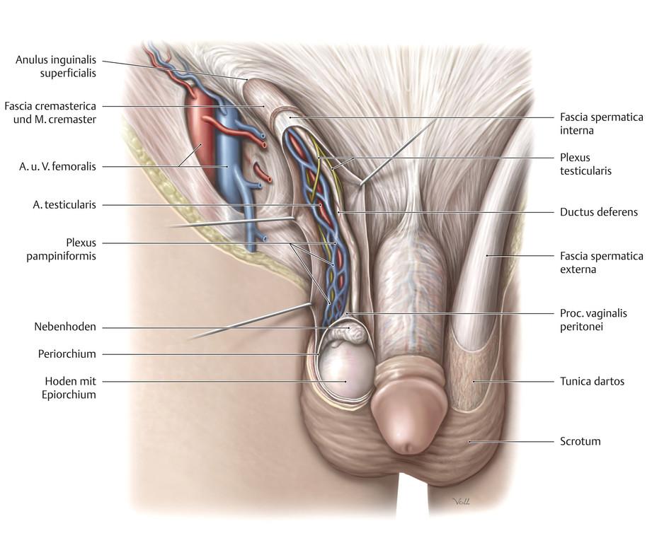 Beste Hodensack Anatomie Galerie - Anatomie Von Menschlichen ...