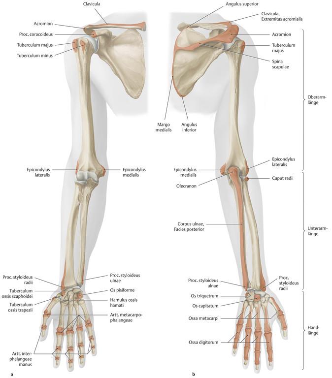 Großartig T Knochenanatomie Bilder - Menschliche Anatomie Bilder ...