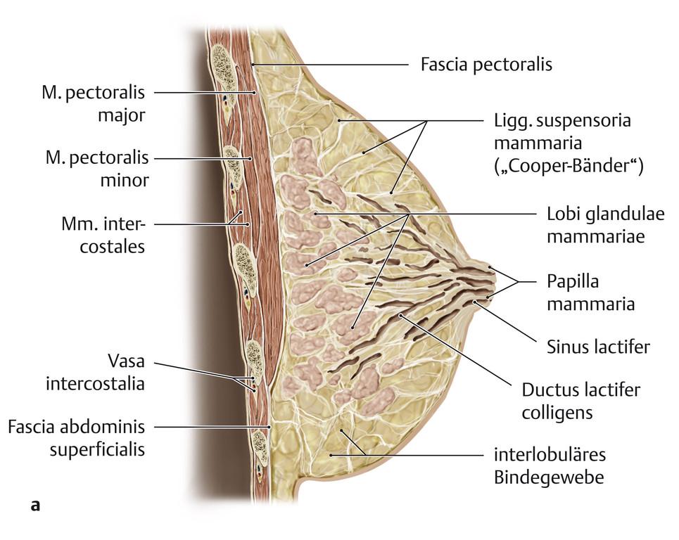 Atemberaubend Makroskopische Anatomie Des Kleinhirns Ideen ...