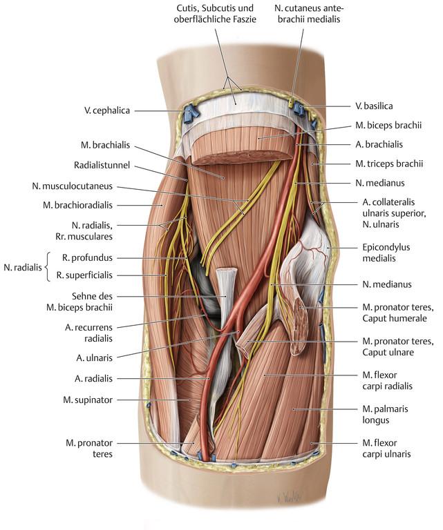Großartig Ellenbeuge Anatomie Ideen - Menschliche Anatomie Bilder ...
