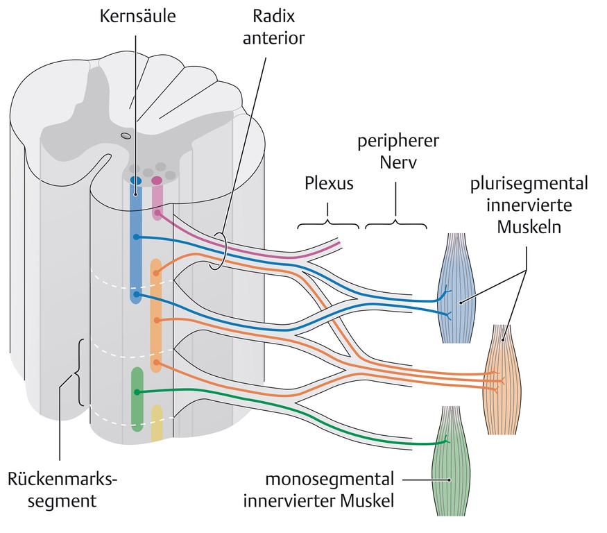 Groß Rückenmark Anatomie Zeitgenössisch - Anatomie Ideen - finotti.info