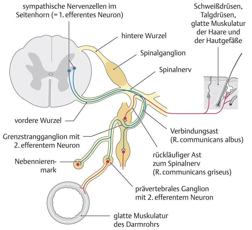 Großzügig Spinalnerven Bilder - Anatomie Von Menschlichen ...