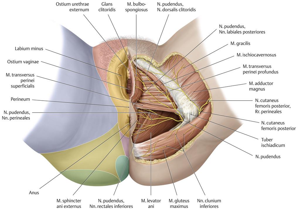 Atemberaubend Pudendusnerv Anatomie Weiblich Ideen - Menschliche ...
