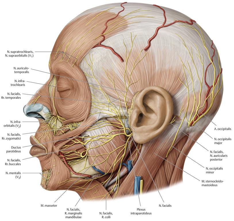 Nett Nerven Im Kopf Und Hals Fotos - Menschliche Anatomie Bilder ...
