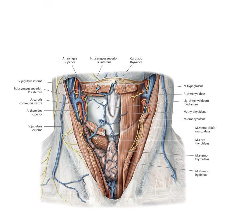 Schön Hals Arterie Anatomie Fotos - Anatomie Ideen - finotti.info