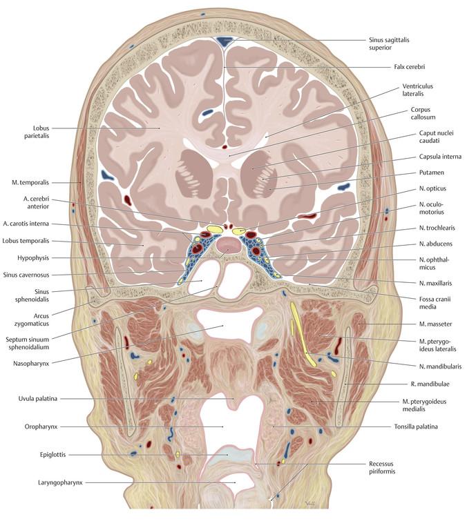 Ausgezeichnet Hypophyse Fossa Anatomie Fotos - Menschliche Anatomie ...