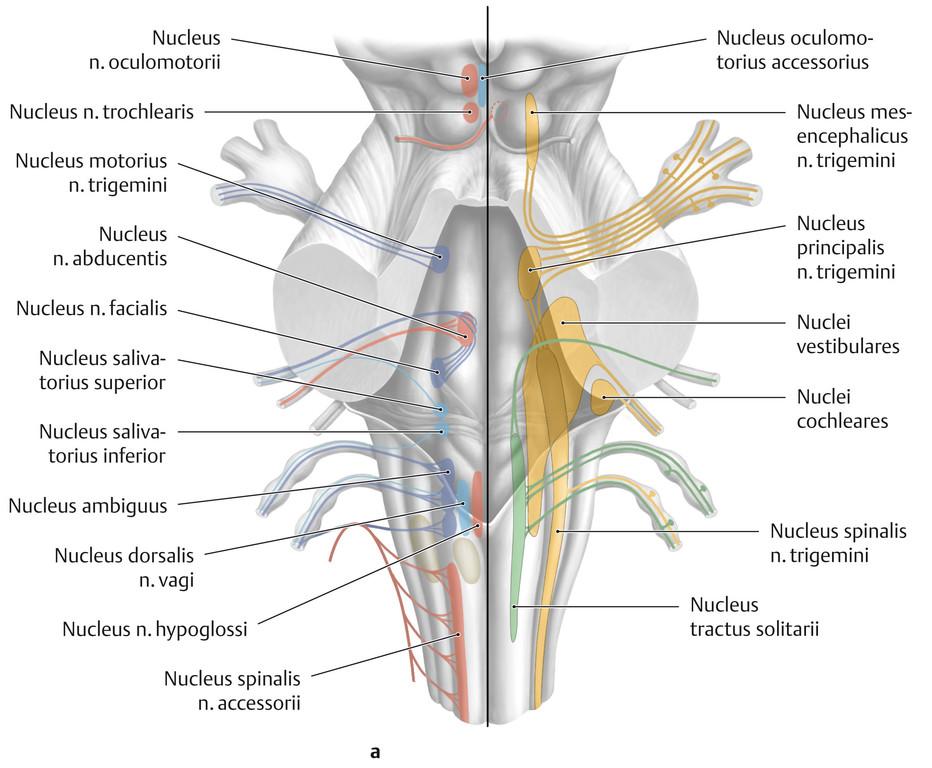 Ziemlich Dritter Hirnnerv Anatomie Bilder - Anatomie Ideen - finotti ...