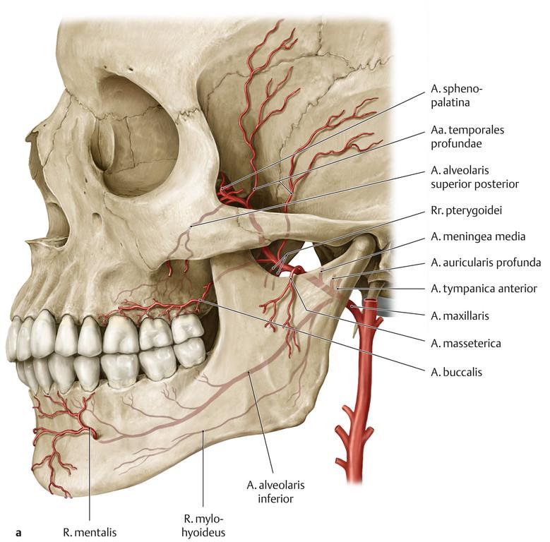 Ungewöhnlich Anatomie Arteria Carotis Interna Galerie - Menschliche ...